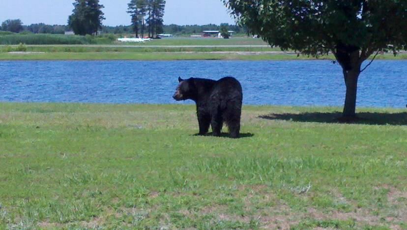Bear062314143214USA2.jpg